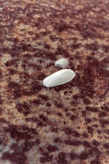 Farfalla che ha depositato le uova sulla superficie arrugginita